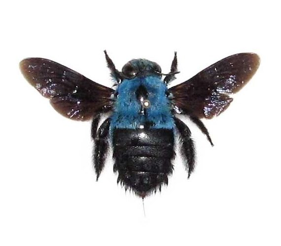 Real blue carpenter bee specimens for sale