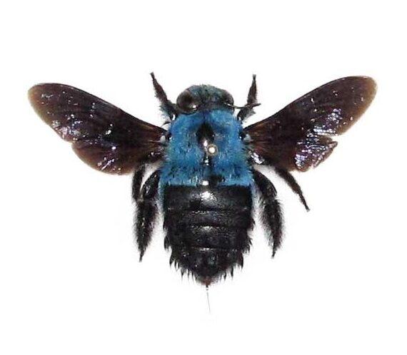 Real blue carpenter bee specimens for sale