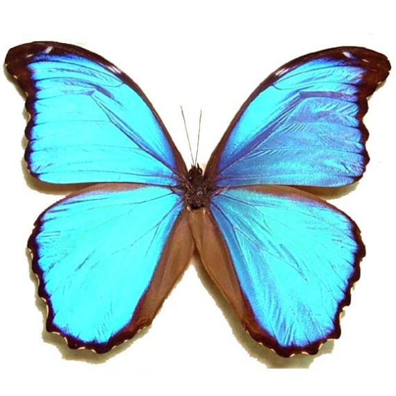 ONE Real Butterfly Blue Peruvian Morpho Menelaus