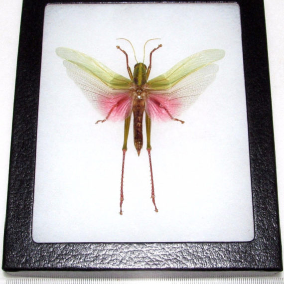Real framed pink grasshopper Chondracris rosea male Indonesia