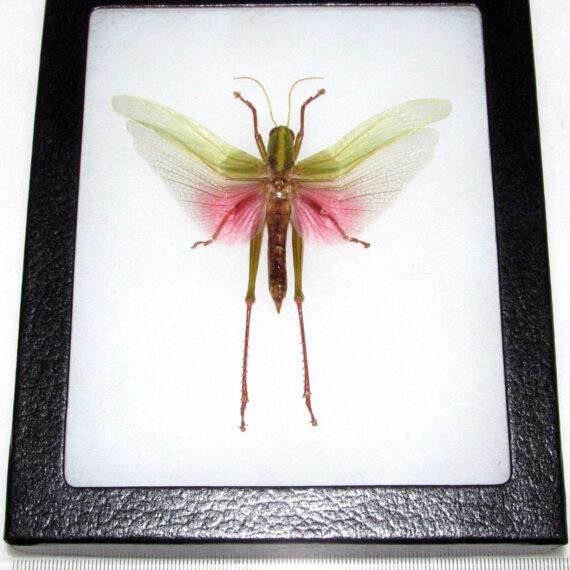 Real framed pink grasshopper Chondracris rosea male Indonesia