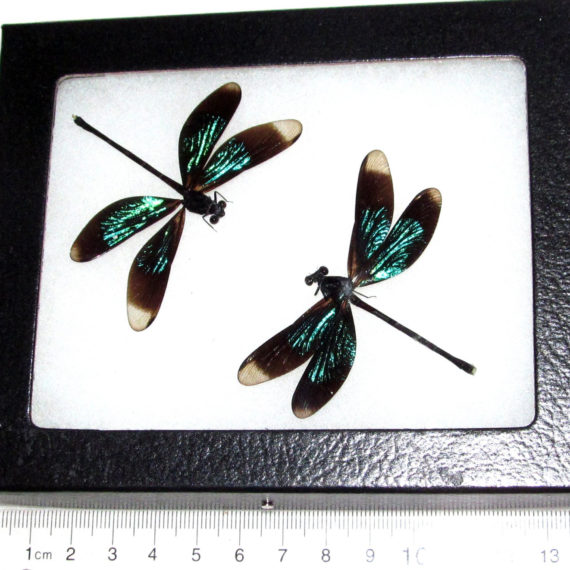 two real green black dragonfly framed insect Calopteryx virgo