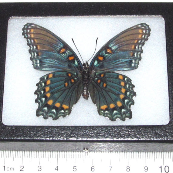 Real Framed Butterfly Arizona Red Spotted Purple Limenitis Arthemis Arizonensis Verso