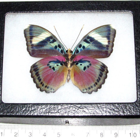 Real Framed Butterfly Pink African Euphaedra
