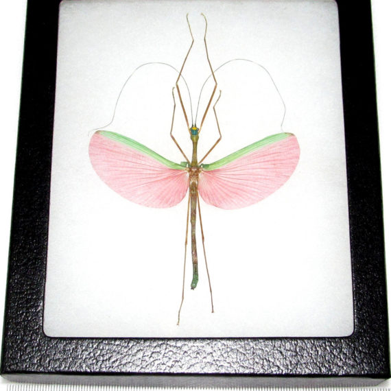 Real framed pink walking stick bug Marmessoidea rosea male