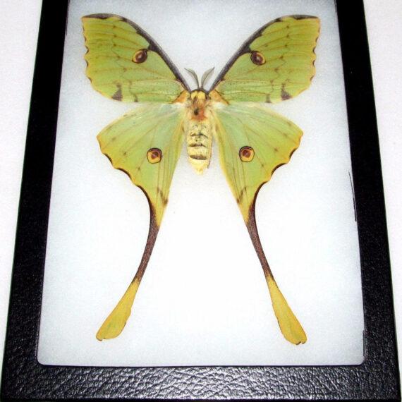 Real framed green Madagascar Comet Moth Argema mimosae luna moth