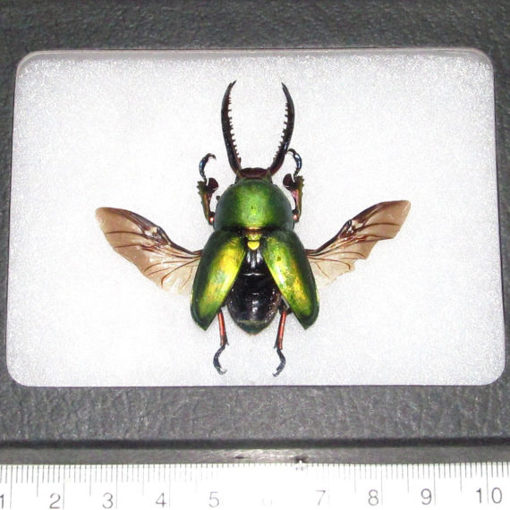 REAL framed green lamprima adolphinae beetle wings spread mounted