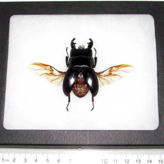 REAL framed black Dorcus stag beetle wings spread mounted Indonesia