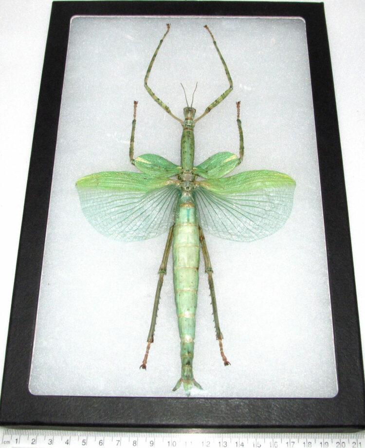 Real framed green walking stick bug giant huge 12in x 8in frame!
