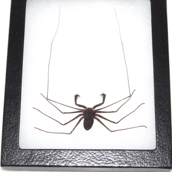 Real framed whip scorpion Indonesia vinegaroon 1