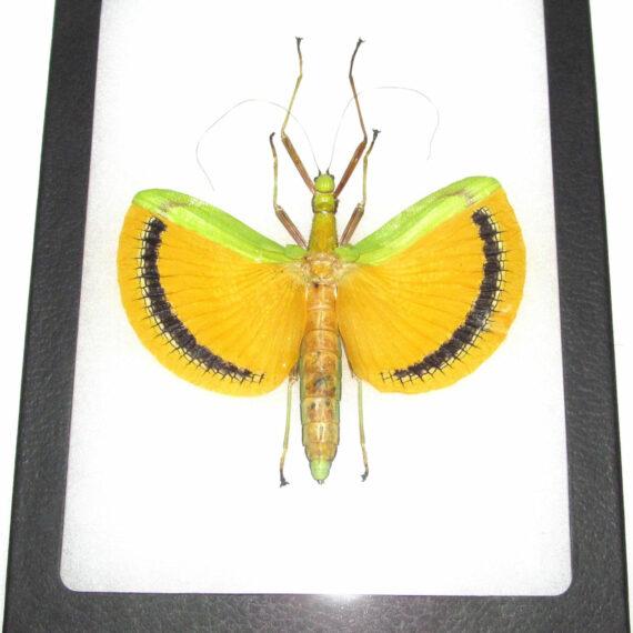 Real framed green yellow walking stick bug Tagesoidea nigrofasciata female Malaysia