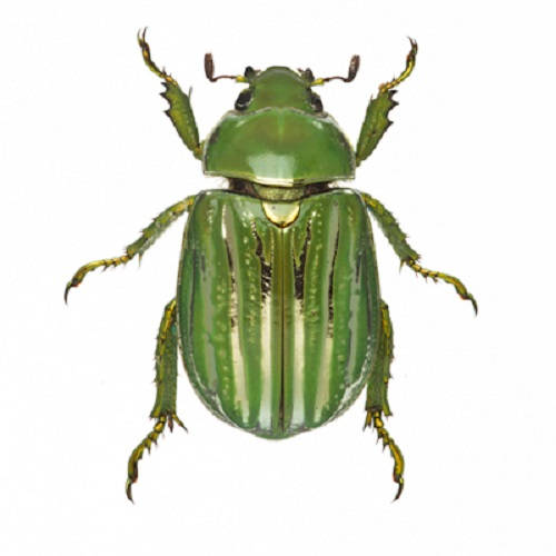 Real chrysina gloriosa green scarab beetle specimens for sale
