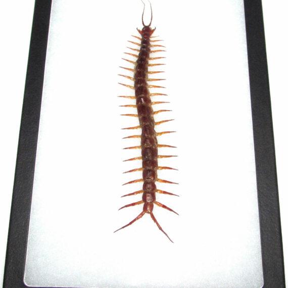 Real framed giant red centipede 12in x 8in frame!