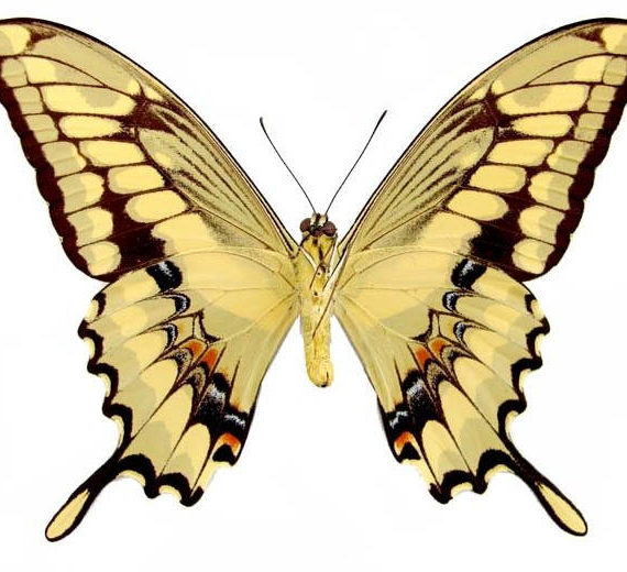 WHOLESALE lot of 10-  Real Butterfly Yellow Papilio Heraclides thoas Swallowtail verso