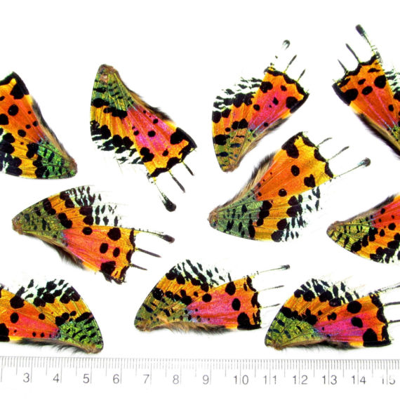 10 pieces pink orange green sunset moth urania rhipheus butterfly wings wholesale lot mix