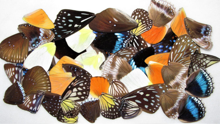 50 pieces A1 perfect quality real assorted butterfly and moth wings wholesale lot mix