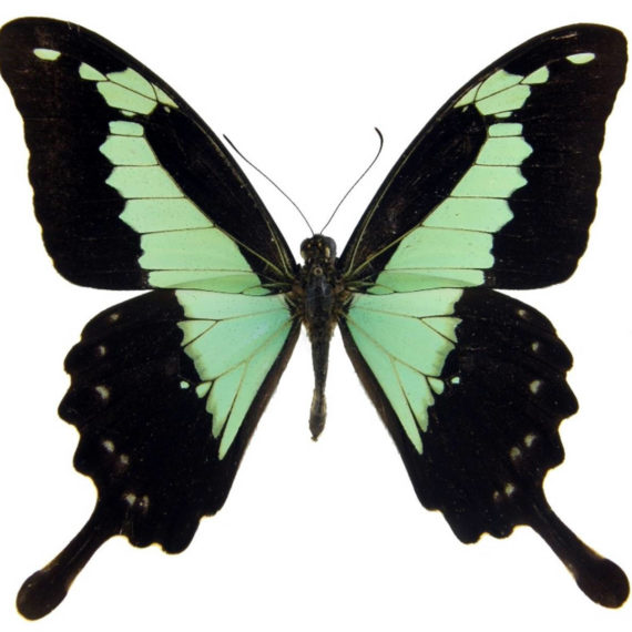 WHOLESALE lot of 10 - Real Butterfly blue green Papilio phorcas swallowtail swordtail Africa