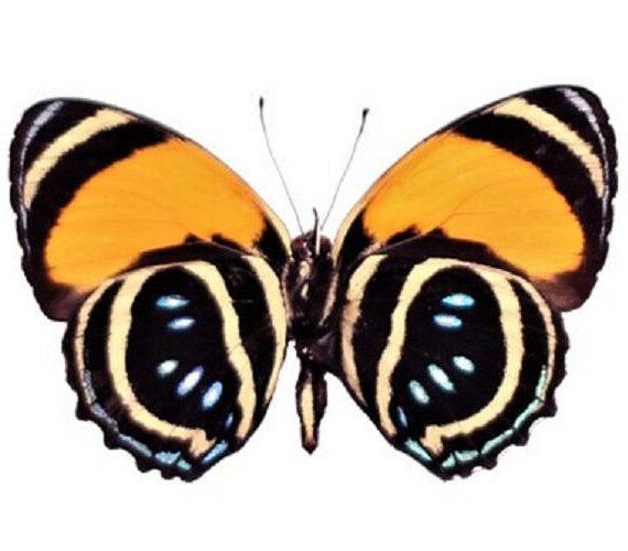 ONE Real Butterfly Blue Orange Callicore Aegina verso Peru
