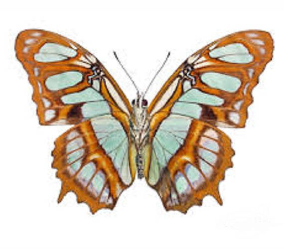 WHOLESALE lot of 10 - Real Butterfly Green Siproeta stelenes Malachite verso