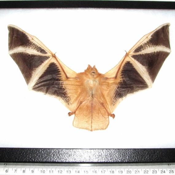Real painted bat specimens for sale - Kerivoula picta