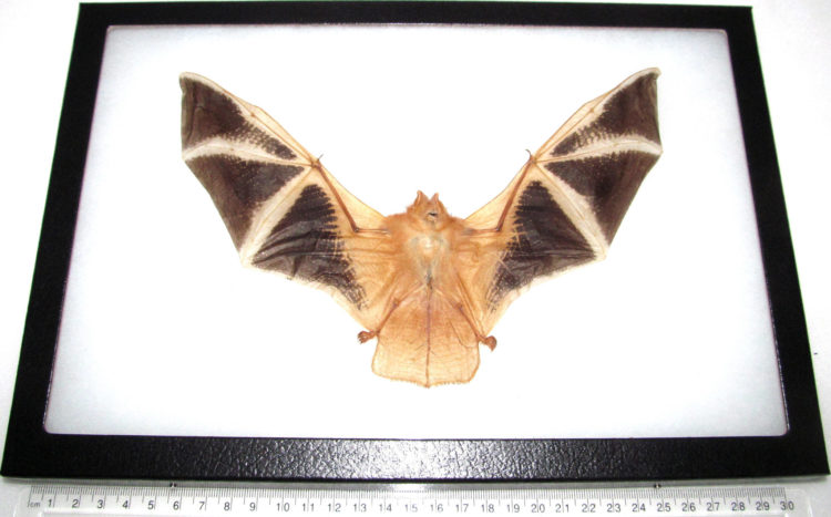 Real painted bat specimens for sale - Kerivoula picta