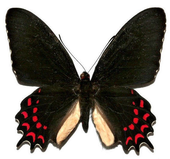 One Real Butterfly black red Parides photinus El Salvador