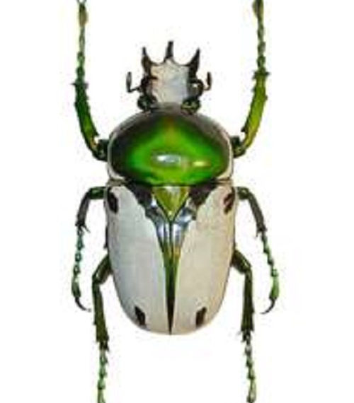 One Real White Green Cameroon Ranzania bertolini Beetle Unmounted Insect