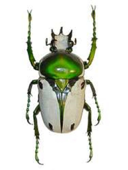 One Real White Green Cameroon Ranzania bertolini Beetle Unmounted Insect
