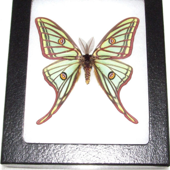 REAL framed Spanish moon moth luna Graellsia isabellae male Spain