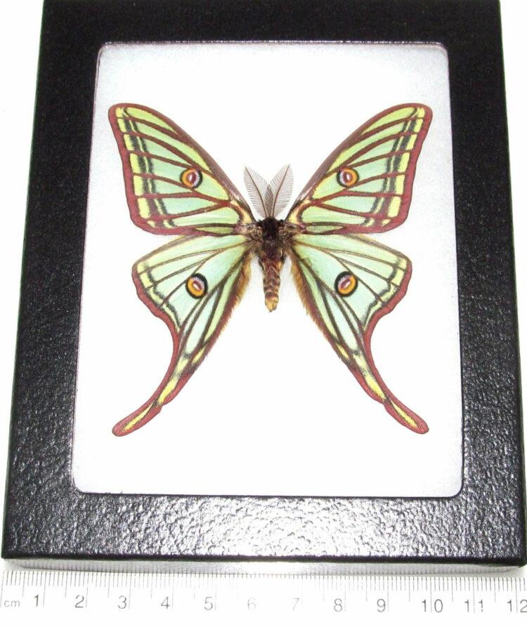 REAL framed Spanish moon moth luna Graellsia isabellae male Spain