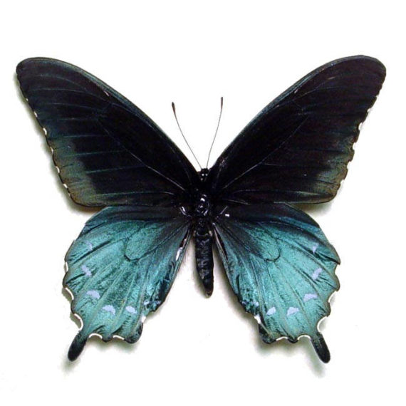 ONE real butterfly blue Battus philenor pipevine swallowtail recto