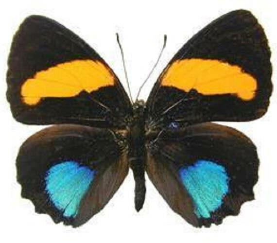 ONE Real Butterfly Blue Orange Callicore Aegina Peru