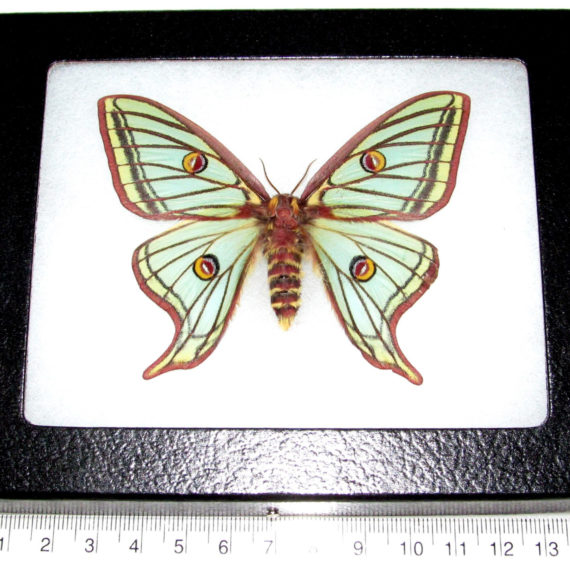 REAL framed Spanish moon moth luna Graellsia isabellae female Spain