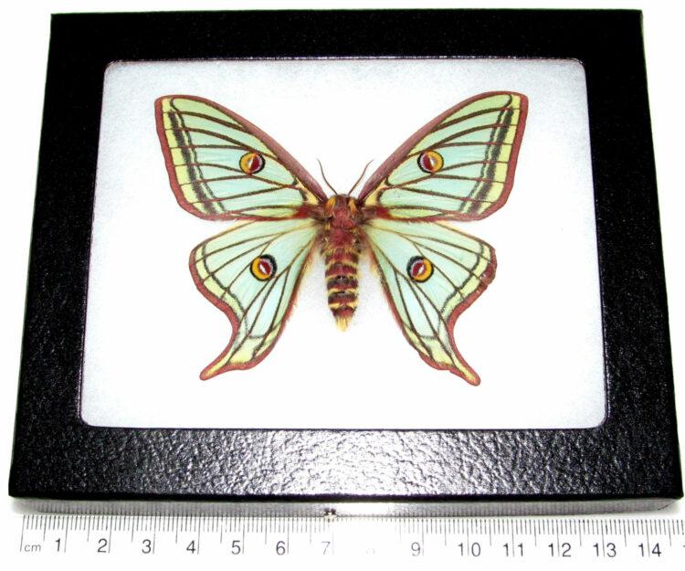 REAL framed Spanish moon moth luna Graellsia isabellae female Spain