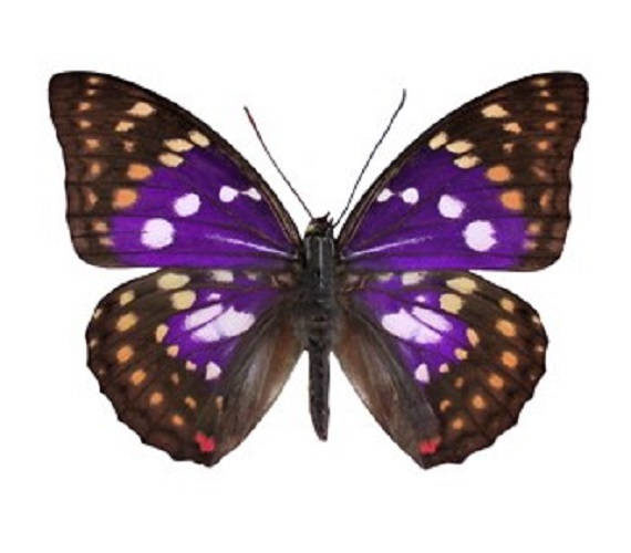 Wholesale lot of 10 - Real Butterfly Purple Sasakia charonda China