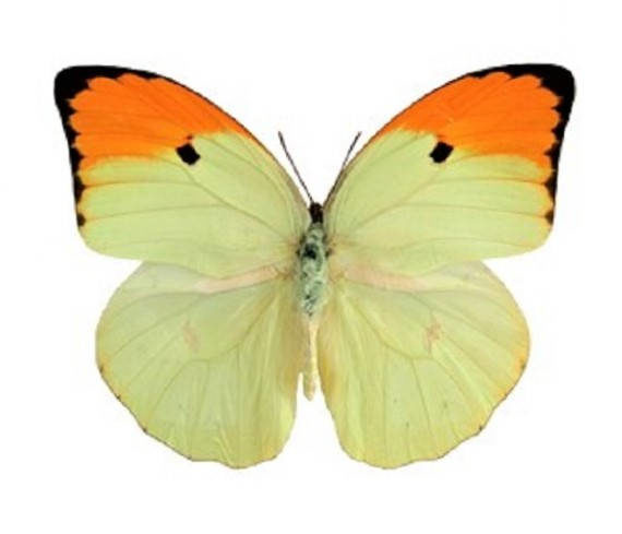 One Real Butterfly orange tip Anteos menippe