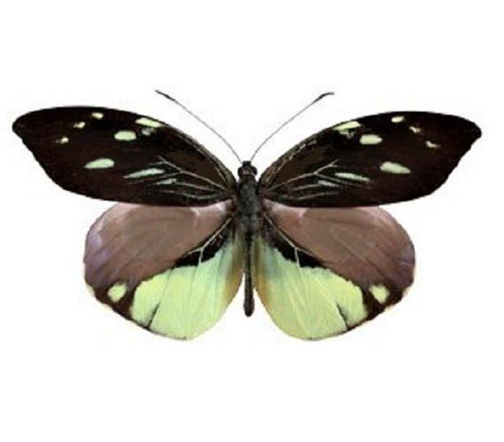 One Real Butterfly Black Yellow Dismorphia nemesis Peru