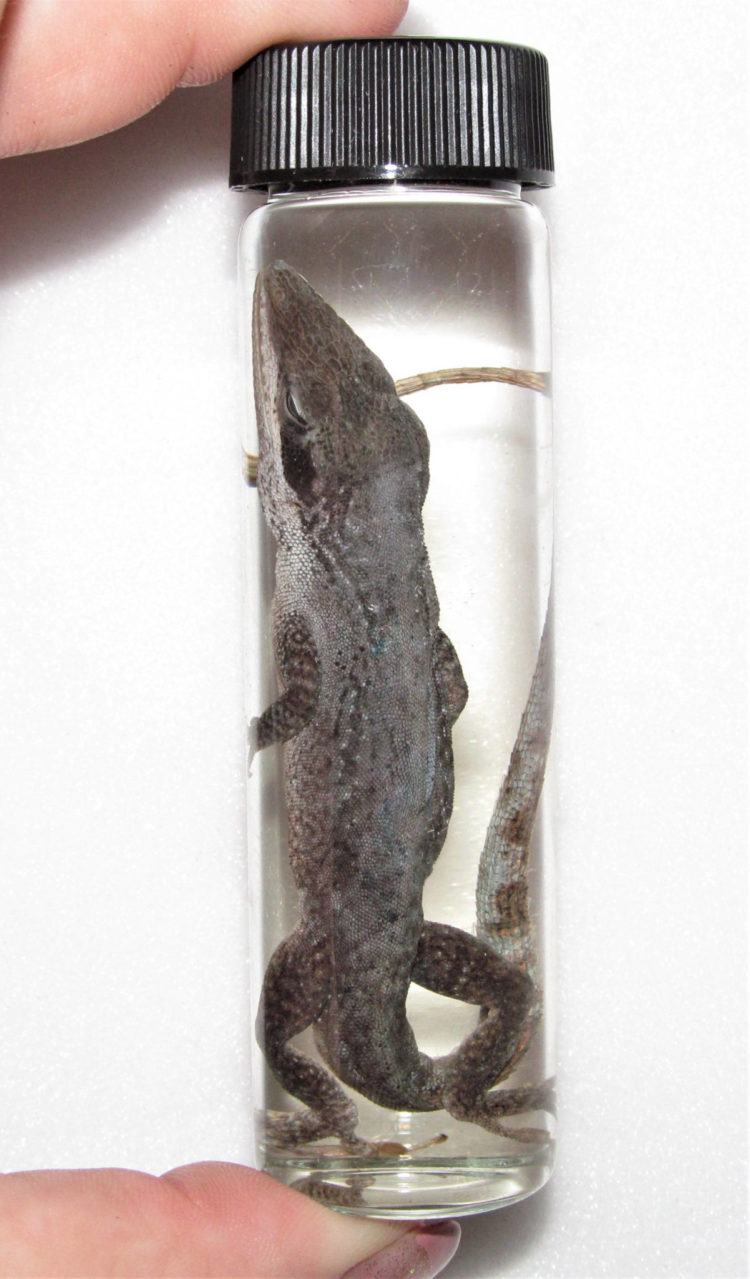 MATURE CONTENT Real Anole Lizard Reptile Preserved in Glass Vial Wet Specimen Taxidermy 4in Vial