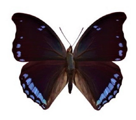 ONE real butterfly blue Charaxes laodice Africa