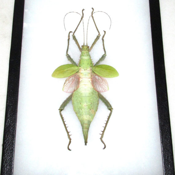 Real framed green pink jungle nymph walking stick bug giant huge 12in x 8in frame!