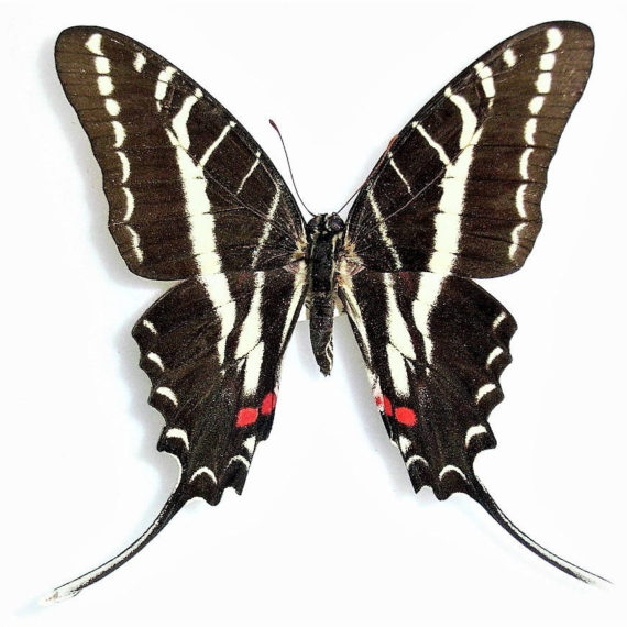 ONE Real Butterfly red white black zebra swallowtail Protographium Eurytides philolaus