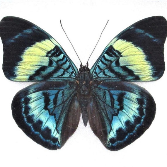 One Real Butterfly blue green Panacea prola Peru