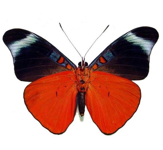 One Real Butterfly red flasher Panacea prola verso Peru