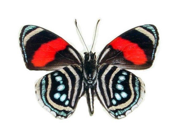 One Real butterfly red blue Callicore hesperis Peru