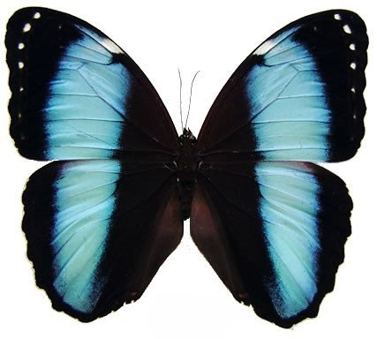 One Real Butterfly Blue Black Morpho Achilles Peru