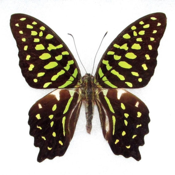 WHOLESALE lot of 10-  Real Butterfly Green Graphium agamemnon