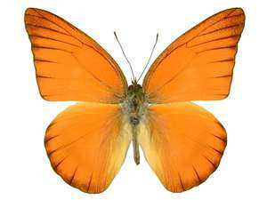 WHOLESALE lot of 10 - Real Butterfly Red Orange Ablatross Appias Nero Indonesia