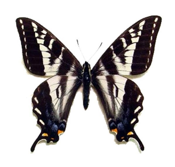One Real Butterfly Yellow Papilio eurymedon pale tiger swallowtail