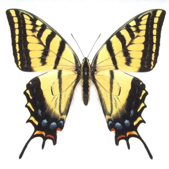 One Real Butterfly Yellow Papilio multicaudata two tailed tiger swallowtail Arizona