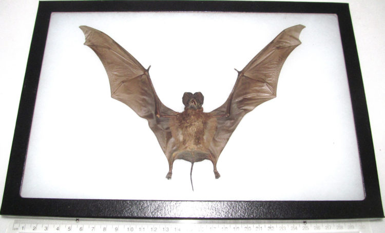 REAL framed preserved mummified bat Otomops formosus wings spread 12in x 8in frame!